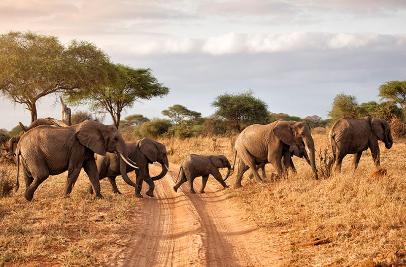 Group of elephants crossing rural road in Africa
