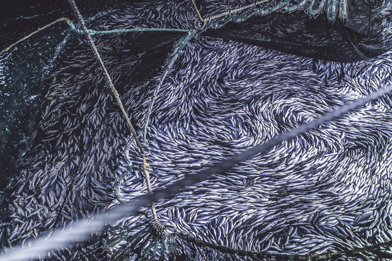 ndustrial fishing in action: herrings in the net