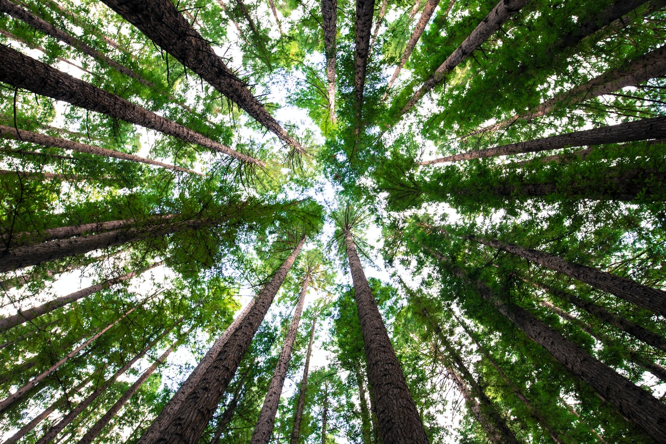 Looking up from the ground at trees in a forest